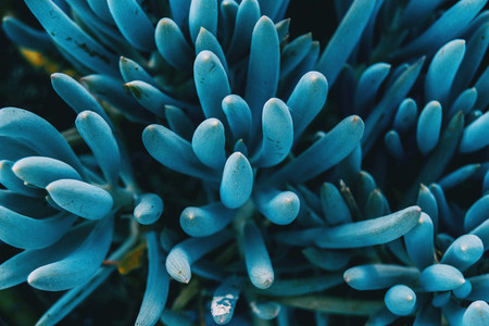 Close up of a blue kleinia mandraliscae plant taken from above