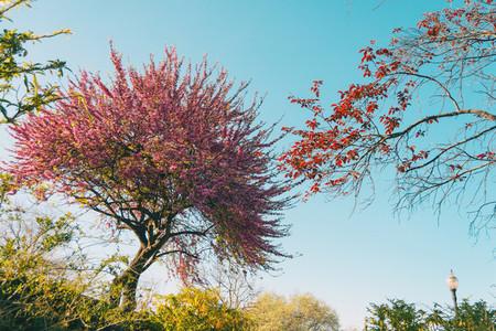 A cercis siliquastrum tree flowered