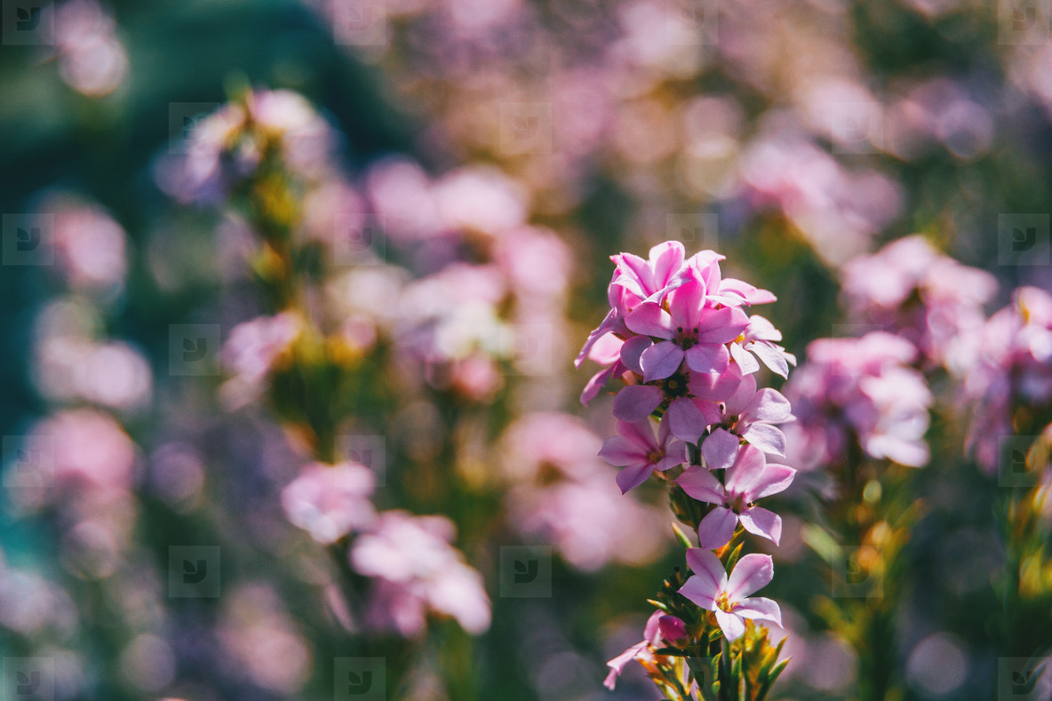 Close up of a raceme of pink calluna vulgaris flowers