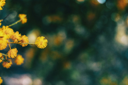 Close up of a golden flower of acacia pycantha