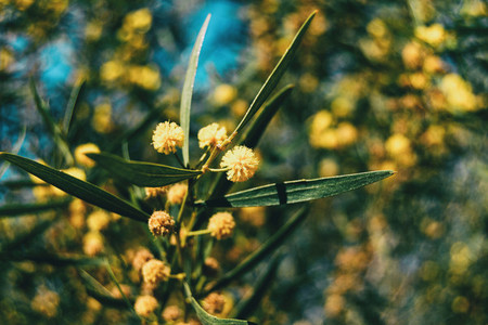 Close up of some golden flowers and green leaves of acacia pycantha