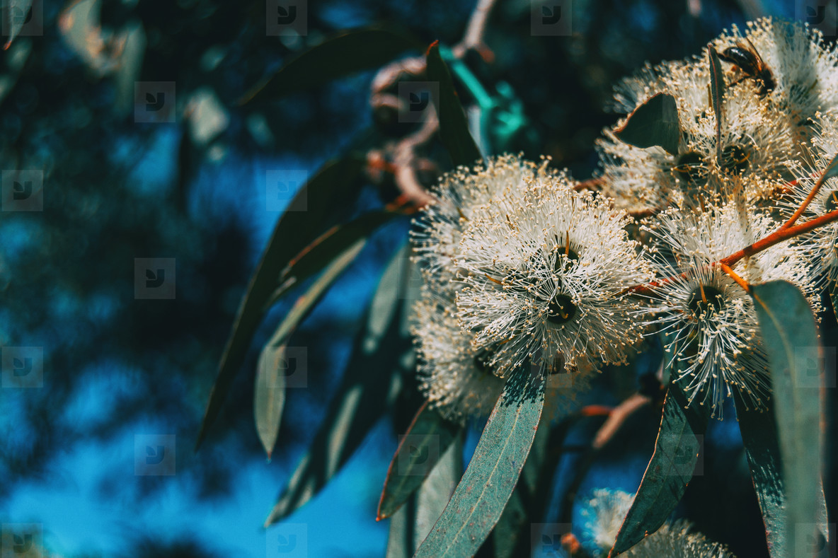 Close up of a flowering eucalyptus plant