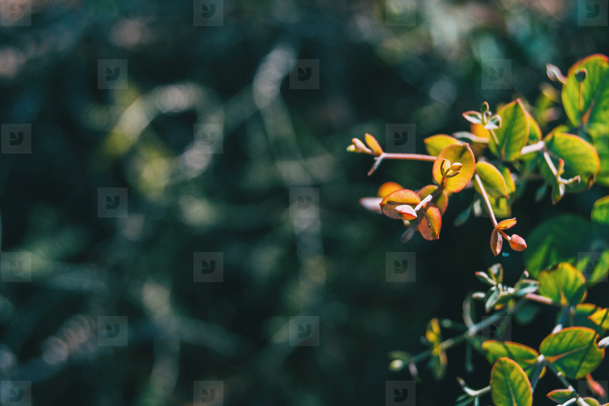 Close up of some buds and green leaves of a hypericum plant