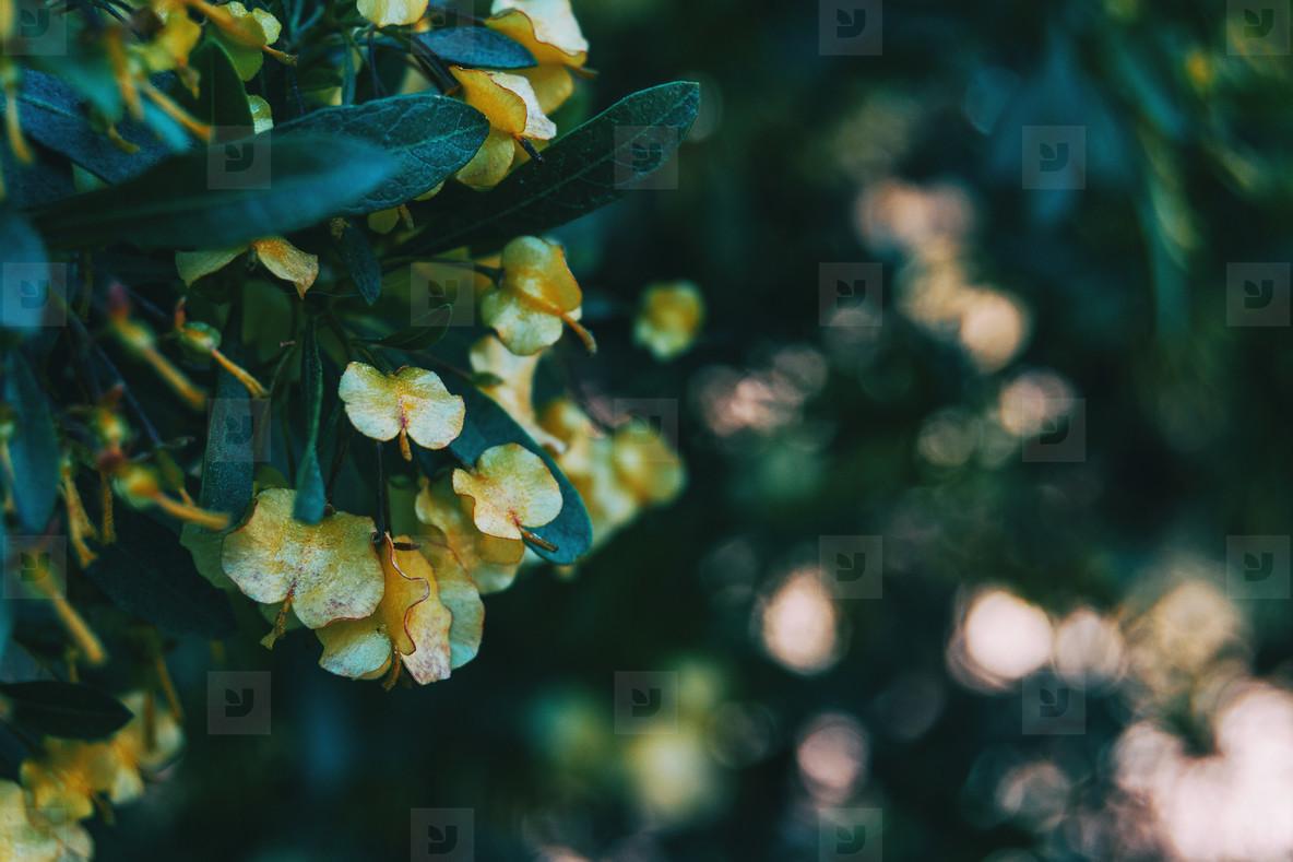 Close up of some yellow flowers of dodonaea viscosa