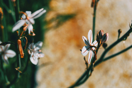 Close up of a white asphodelus flower on its back
