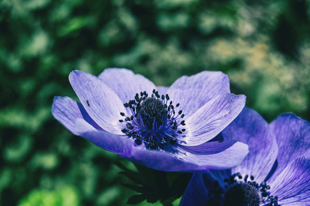 Detail of a purple flower of anemone coronaria