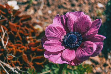 Detail of an isolated pink flower of anemone coronaria