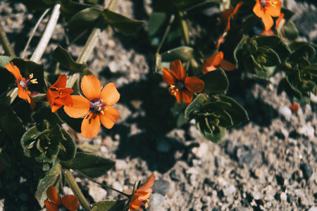 Close up of an open orange flower of anagallis arvensis
