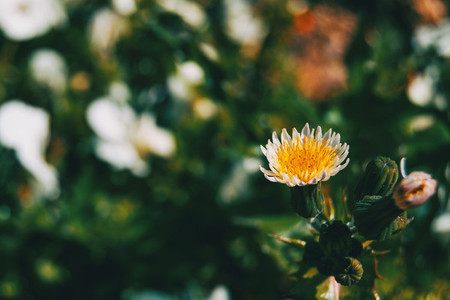 Macro of a white and yellow flower and some buds