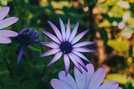 Close up of a purple flower of osteospermum ecklonis