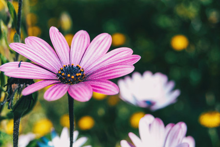 Macro of a pink flower of osteospermum ecklonis