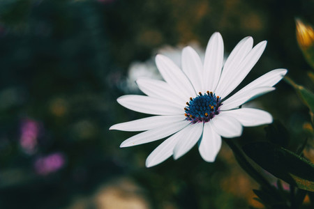 Macro of an isolated white flower of osteospermum ecklonis