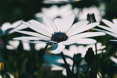 Macro of a white flower of osteospermum ecklonis