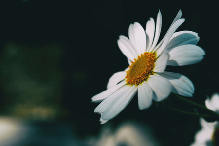 Macro of an isolated white flower of leucanthemum vulgare