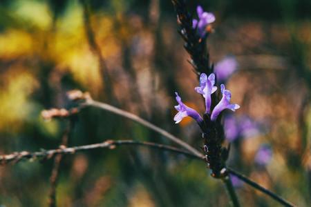 Close up of three purple flowers of lavandula stoechas