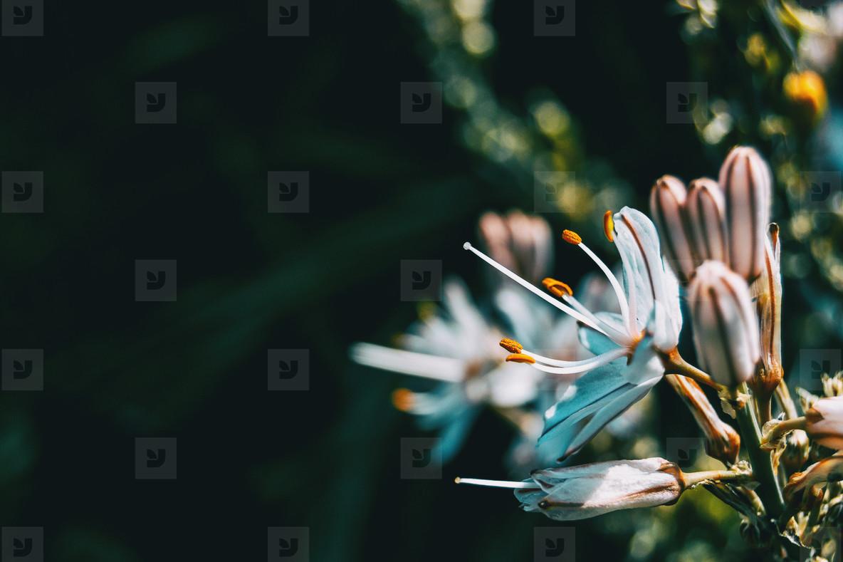 Detail of the stamens of a white asphodelus flower
