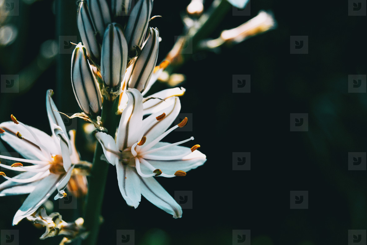 Close up of two white asphodelus flowers and some buds