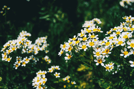 A bunch of white wild flowers of achillea ptarmica lit by sunlight