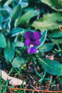 Close up of a violet flower of viola odorata
