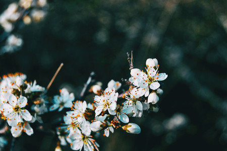 Close up of some white prunus flowers