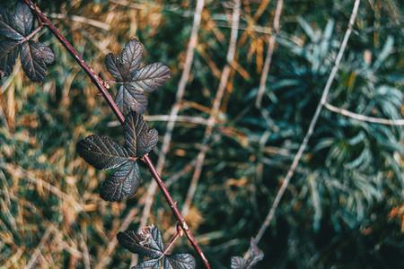 Close up of some dark leaves of rosa rubiginosa