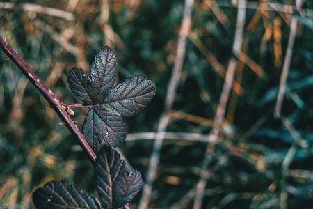 Close up of a dark leaf of rosa rubiginosa