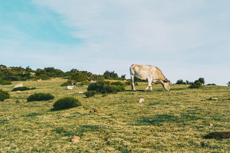 A white cow grazing in a meadow