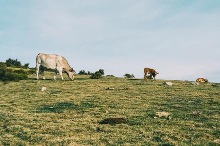 A white cow grazing next to two calves