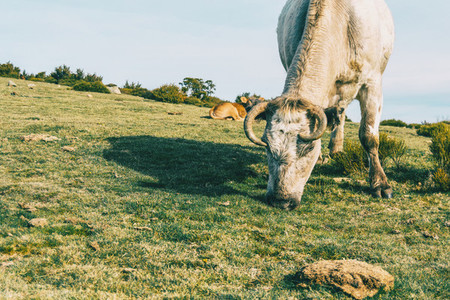 Portrait of a white cow grazing