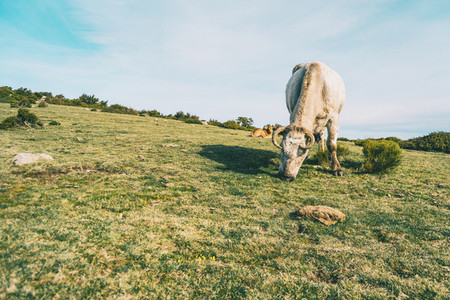 Close up of a white cow grazing