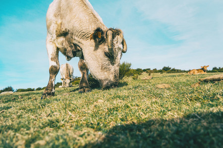 Portrait of a white cow grazing in the meadow