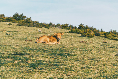 Portrait of a brown calf resting on the green meadow