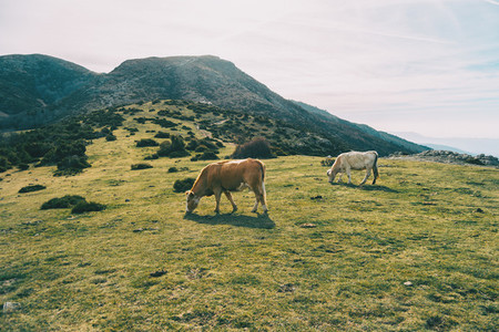 Two cows grazing in a green meadow