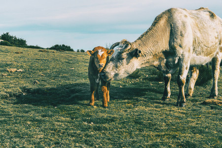 Portrait of a cow protecting her little calf and looking at the camera