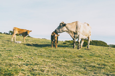 A white cow taking care of her little calves