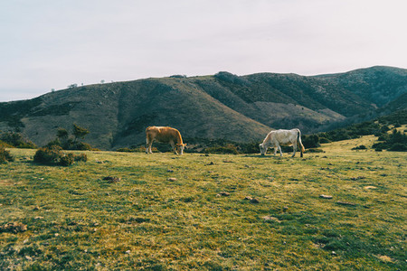Two cows grazing in a mountainous landscape