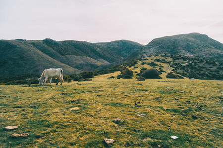 A white cow grazing in a green meadow