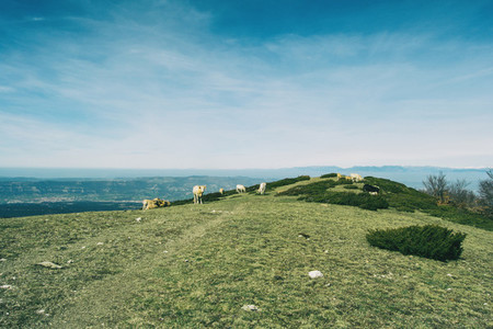 A herd of cows grazing on a green meadow in the heights