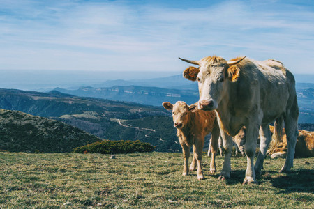 Portrait of a white cow and a calf looking at camera in the heights