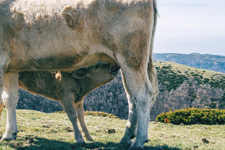 Detail of a calf breastfeeding in the mountains