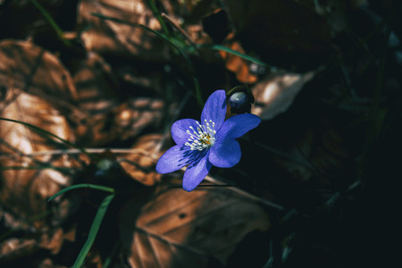 Close up of a blue flower and a bud of anemone hepatica