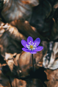 Close up of an isolated purple flower of anemone hepatica