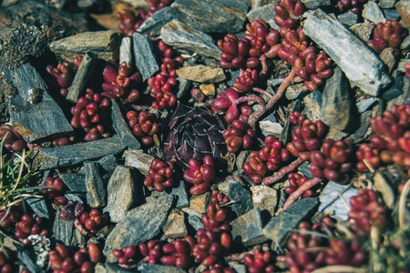 Close up of a round pointed purple plant surrounded by red leaves of sedum
