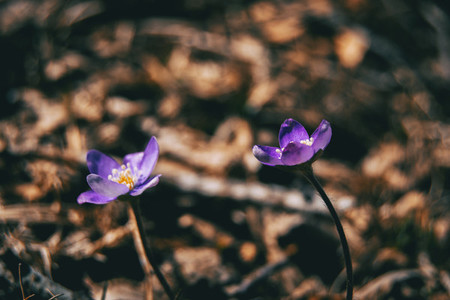 Close up of two purple flowers of anemone hepatica on its side