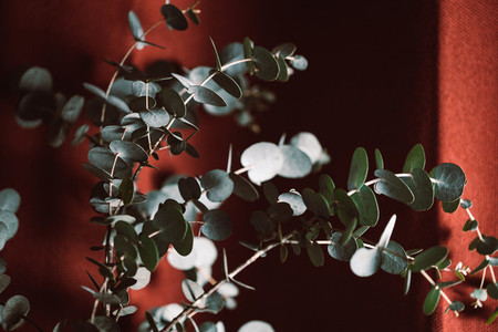 Moody macro photography of eucalyptus branch against dark red background