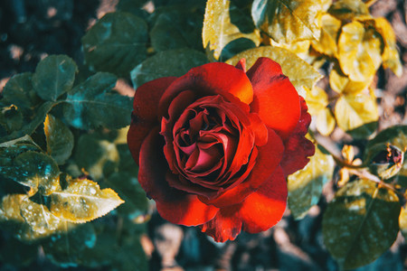 Macro of an open red rose in the wild