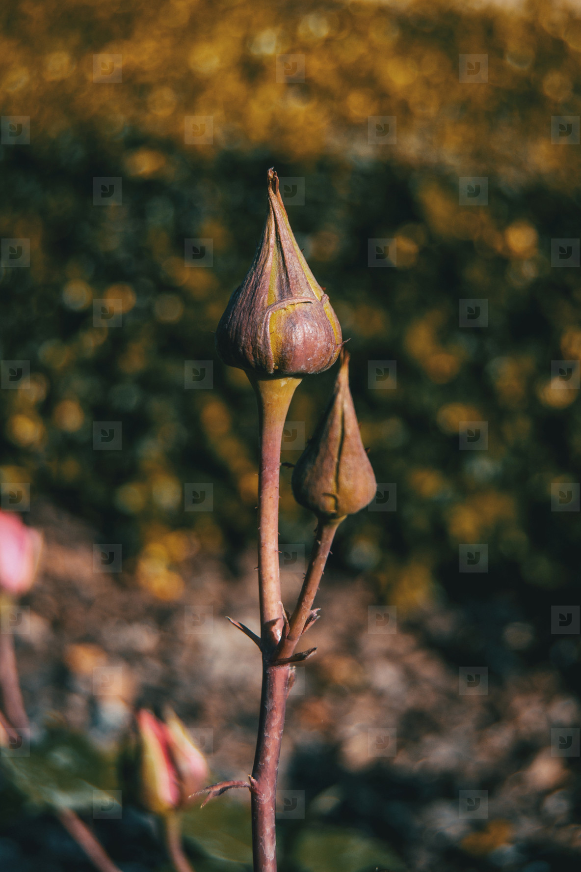 Close up of two rose buds in the wild