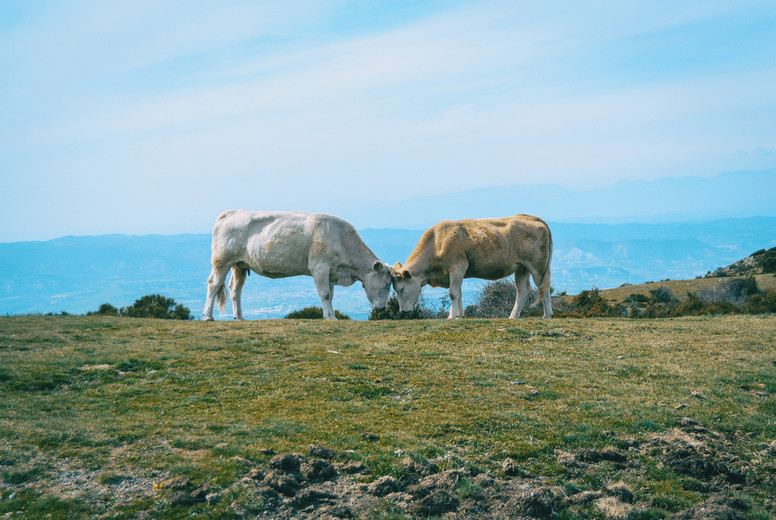 Two cows with closed eyes putting their heads together fondly