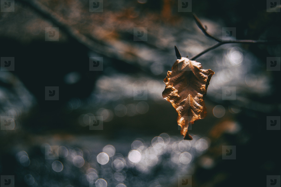 Close up of an isolated  dried and wrinkled fagus leaf