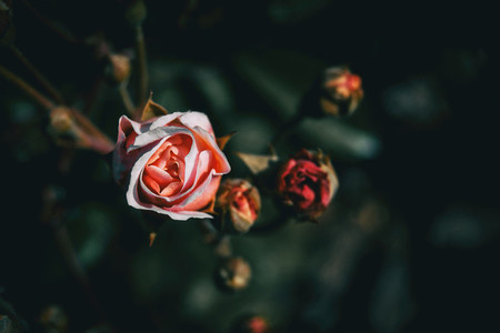 Detail of a pink rose blooming with some unfocused buds